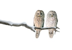 Pair of Ural owls sitting on branch (Strix uralensis). Isolated on white background.
