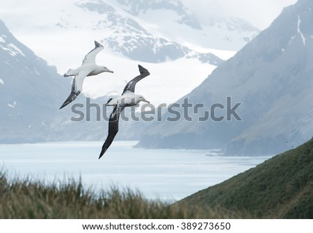Pair of wandering albatrosses flying above grassy hill,  with snowy mountains and light blue ocean in the background, South Georgia Island, Antarctica #389273650
