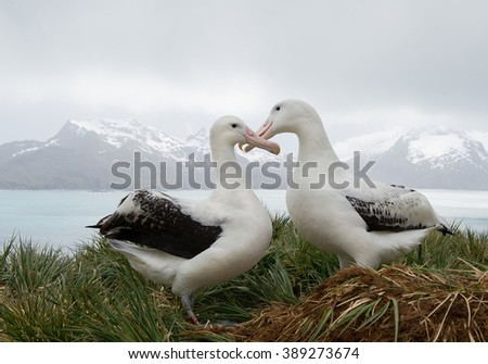 Pair of wandering albatrosses on the nest, socializing, with snowy mountains and light blue ocean in the background, South Georgia Island, Antarctica  #389273674