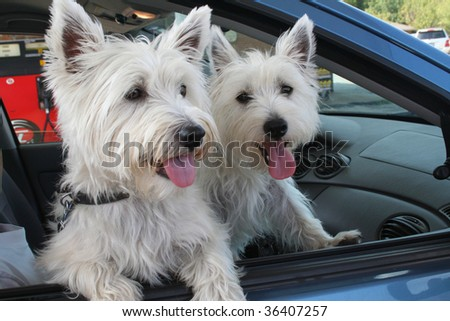 Pair of West Highland Terriers out for a drive. - stock photo