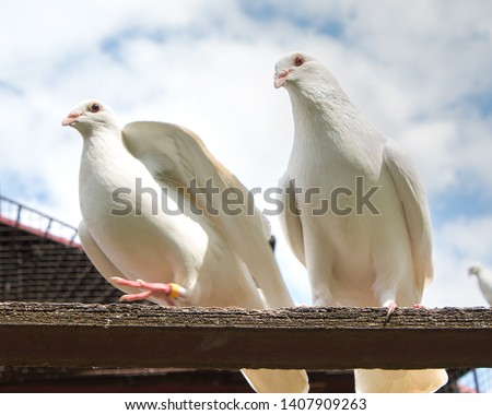 Pair of white doves, pigeons perched on a perch #1407909263