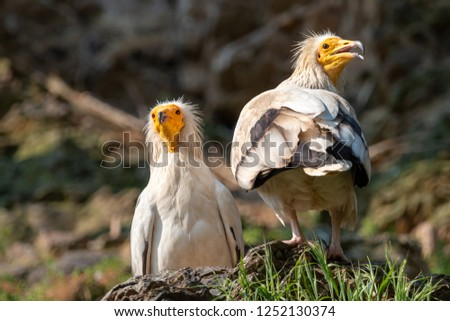 Pair of white Egyptian vultures. White scavenger vulture or pharaoh's chicken (Neophron percnopterus) has white plumage, hackle from neck feathers, and yellow unfeathered face with hooked beak. Stock fotó ©