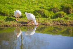 Pair of white geese drinking water on the riverbank of Waveney in Outney Common, Bungay, Suffolk, England