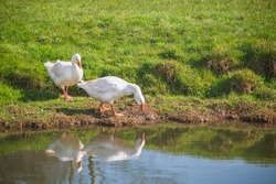 Pair of white geese next to the riverbank