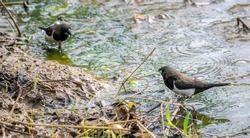 Pair of White rumped munia birds taking a bath in a puddle of dirty water in a paddy field in the morning.