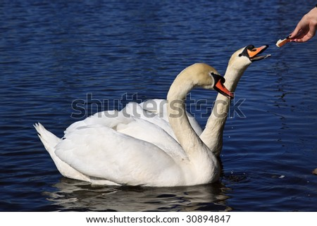 Pair of white swans on a pond. Close up.