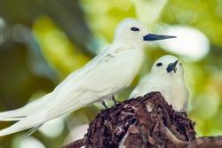 Pair of White Terns, Bird Island, Seychelles