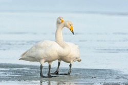 Pair of whooper swan, Cygnus cygnus standing together on the ice during winter day in Estonia