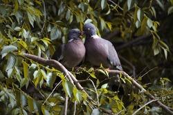 Pair of wood pigeons on tree