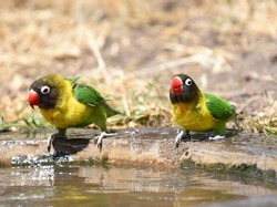 Pair of Yellow-collared Lovebirds (Agapornis personatus)