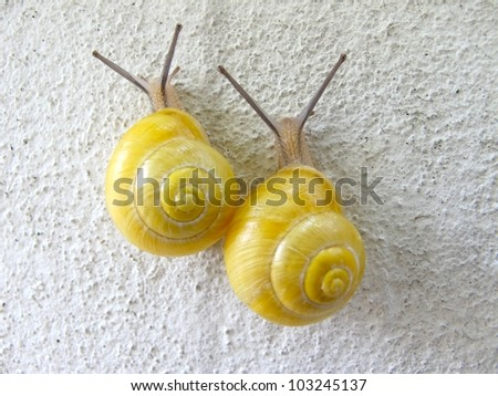 pair of yellow snails moving together