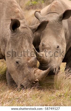 Pair of young African White Rhinoceros (Ceratotherium simum)