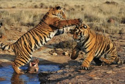 Pair of young tigers playing