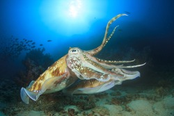 Pair Pharaoh Cuttlefish mating