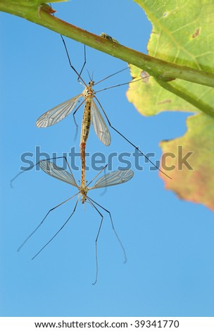 Pairing of mosquitoes (Tipulidae) on a tree branch, a kind against the sky.