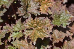 Palace Purple Coral Bells leaves - Latin name - Heuchera americana Palace Purple