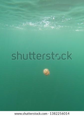 palau jellyfish lake underwater picture