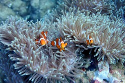 Palawan, Philippines - Clownfish or Amphiprion sp. family nesting on a sea anemone.