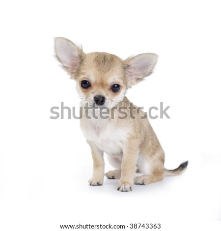 Pale beige chihuahua puppy on white background