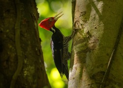 Pale-billed woodpecker - Campephilus guatemalensis  is a very large woodpecker that is a resident breeding bird from northern Mexico to western Panama.