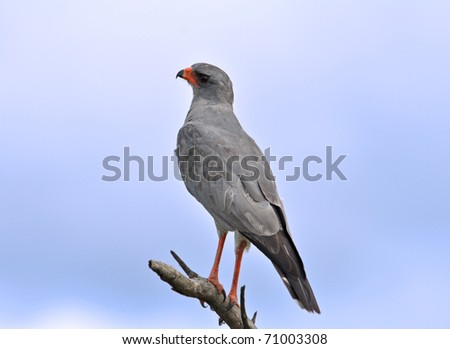 Pale Chanting goshawk (Melierax canorus) perched on a branch, Kruger National Park, South Africa
