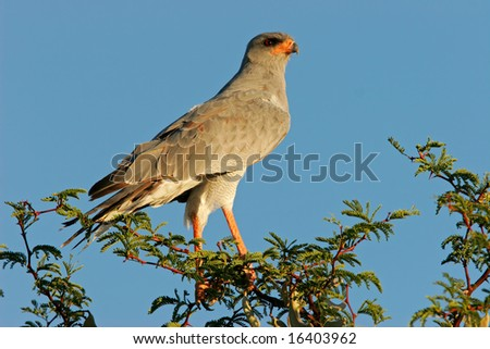Pale Chanting goshawk (Melierax canorus) perched on a tree, Kalahari desert, South Africa - stock photo