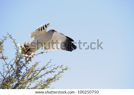 Pale Chanting Goshawk (Melierax canorus). taking off from its hunting perch in a camelthorn tree, Kalahari, South Africa. Common in arid areas