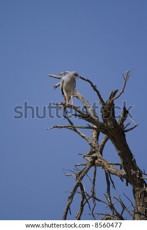 Pale chanting goshawk searching for prey from the perch of a dead tree