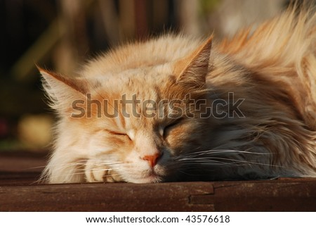 Pale ginger Maine Coon cat
