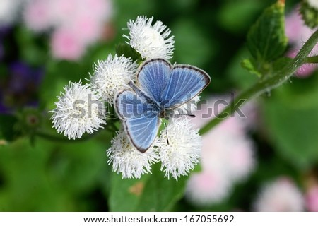 Pale Grass Blue(Pseudozizeeria maha) - stock photo