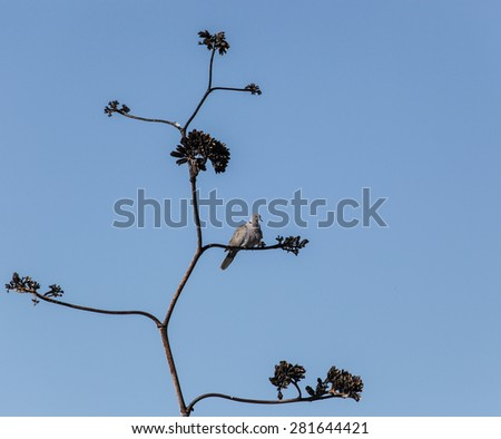 Pale gray wild bird, collared dove, on dry twig of tall desert plant with blue sky/Light Gray Collared Dove on High Small Branch of Dry Desert Plant Stalk Against Clear Blue Sky/Wild pale gray dove