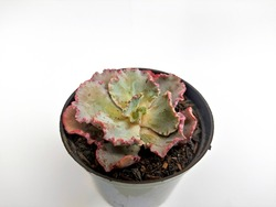 pale green and pink rose cactus succulent plant in black pot