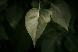 Pale green leaves, for background