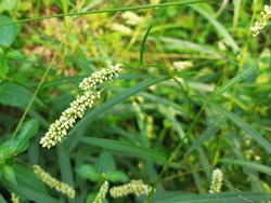 Pale Knotweed, Pale Persicaria, Curlytop knotweed, Willow weed grass plant