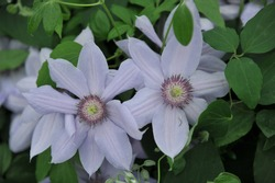 Pale lavender-blue large-flowered clematis Bernadine selected by the British breeder Raymond Evison blooms on an exhibition in May 2017