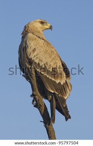 Pale morph Tawny Eagle (Aquila rapax) perched on a dead tree in Tanzania's Serengeti Park