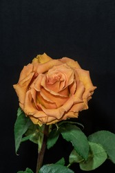 pale orange orange rose blossom with green leaves, fine art still life on black and blurred background, petals with detailed texture