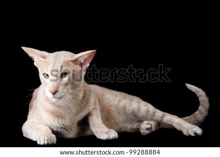 Pale oriental cat lying on black background