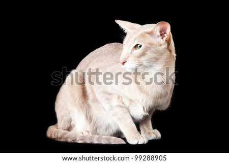 Pale oriental cat sitting on black background