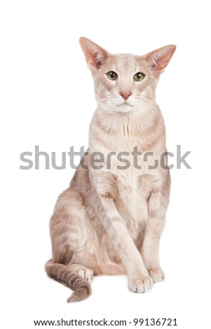 Pale oriental cat sitting on isolated  white background
