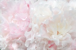 Pale pink background made of peony flowers. Pastel soft colors. Floral background.