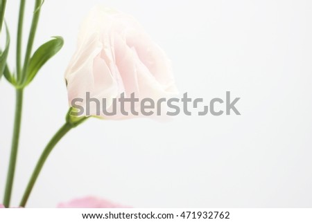 Photo of Pale pink Flower Lysianthus on white background