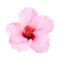 Pale pink hibiscus flower isolated on white