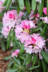 Pale Pink Rhododendron (Rhododendron japonoheptamerum var. japonoheptamerum)