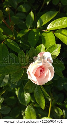 Pale pink rose beginning to bloom among the glossy, dark green leaves. Luxuriant, lustrous leaves. Lush, elegant foliage. Greenery of foliage #1255904701
