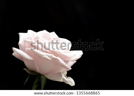 Pale pink rose on a black background. Closeup of a flower. Closeup of a flower. Copy space