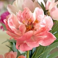 Pale pink tree peony blossom