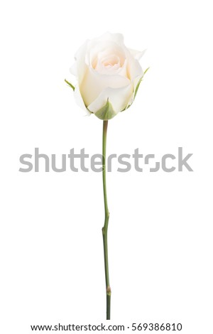 Pale  rose isolated on white background.