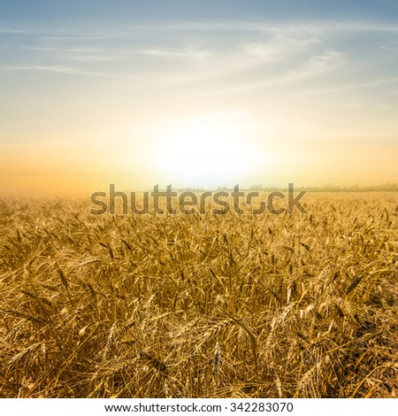 pale sunset over a wheat field #342283070