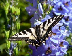 Pale Swallowtail Butterfly with open wings on blue delphinium flowers.
